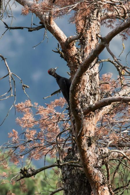 Black Woodpecker  - Jean-Claude Fornerod