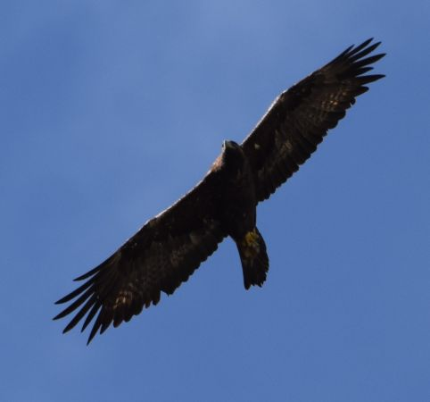 Golden Eagle  - Lorenzo Vinciguerra