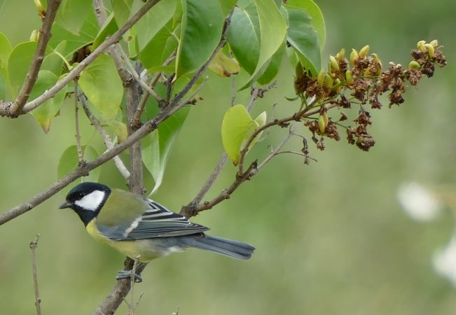 Great Tit  - Violetta Fontana