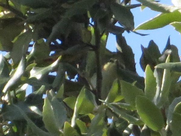 Yellow-browed Warbler  - Arthur Aigroz