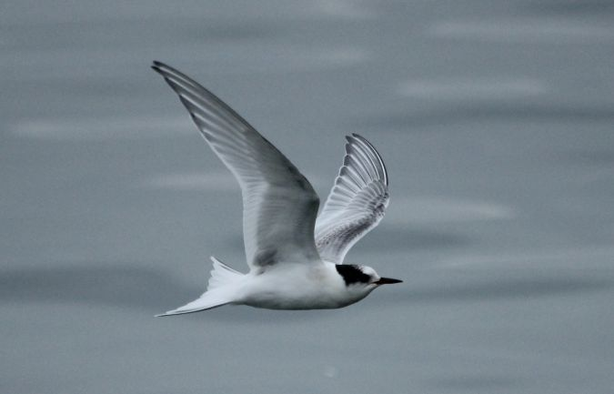 Arctic Tern  - Simon Stricker