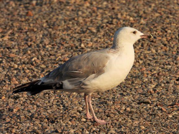 European Herring Gull  - Mirko Tomasi