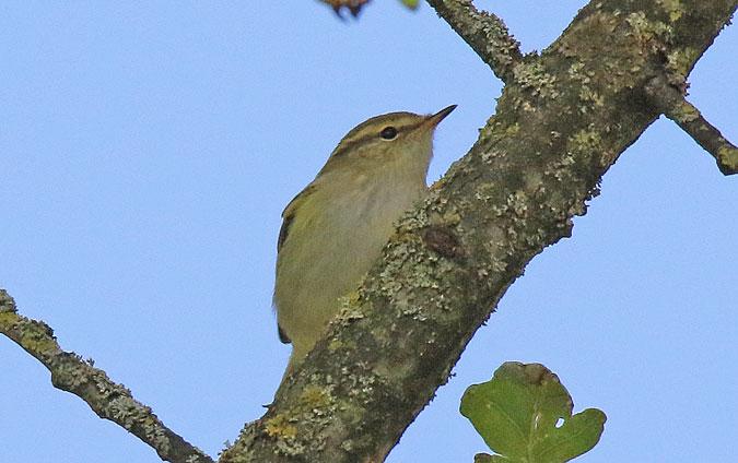 Yellow-browed Warbler  - Eric Sauser