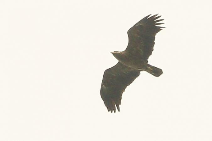 Lesser Spotted Eagle  - Samuel Betschart