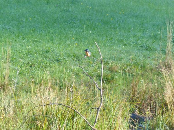 Common Kingfisher  - Hervé Prisset