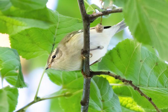 Yellow-browed Warbler  - Roman Bühler