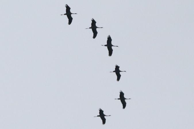 Common Crane  - Sven Leutwyler