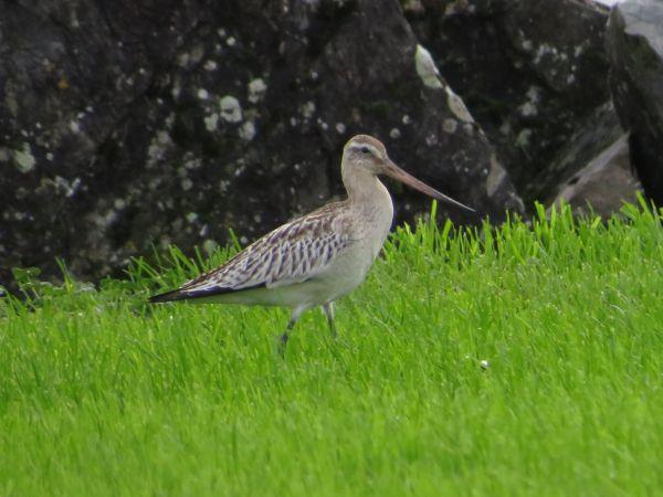 Bar-tailed Godwit  - Arthur Aigroz