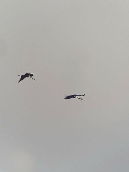 Common Crane  - Yannick Bischof
