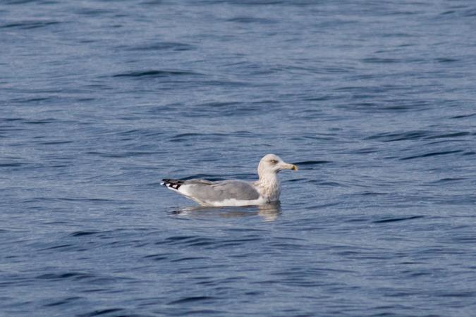 European Herring Gull  - Severin Bigler