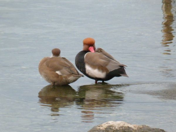 Red-crested Pochard  - Roland Tauxe