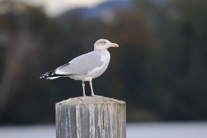 European Herring Gull  - Martin Gerber