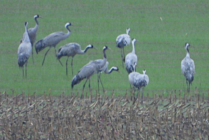 Common Crane  - Peter Ertl