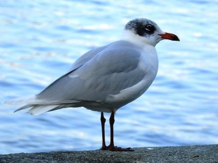 Mediterranean Gull  - Kurt Anderegg