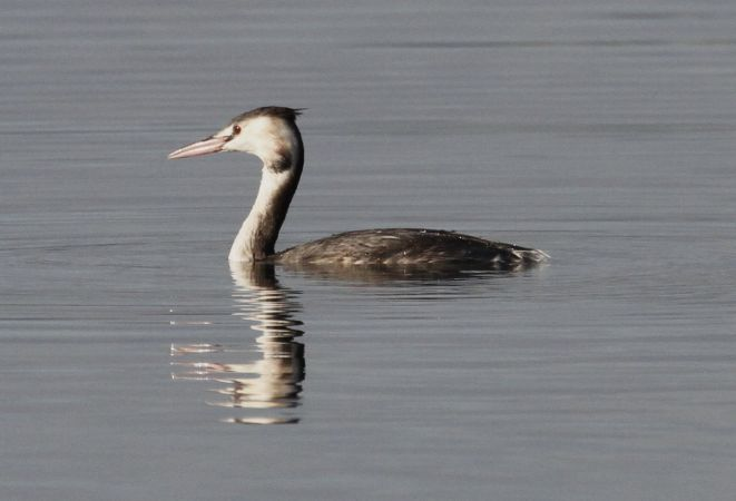 Great Crested Grebe  - Thomas Gorr