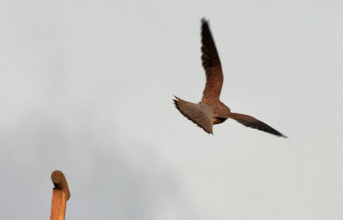 Common Kestrel  - Thomas Gorr