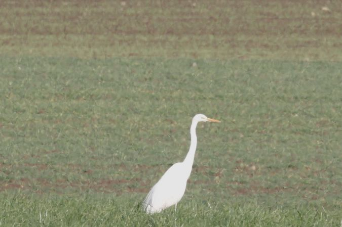 Great White Egret  - Thomas Gorr