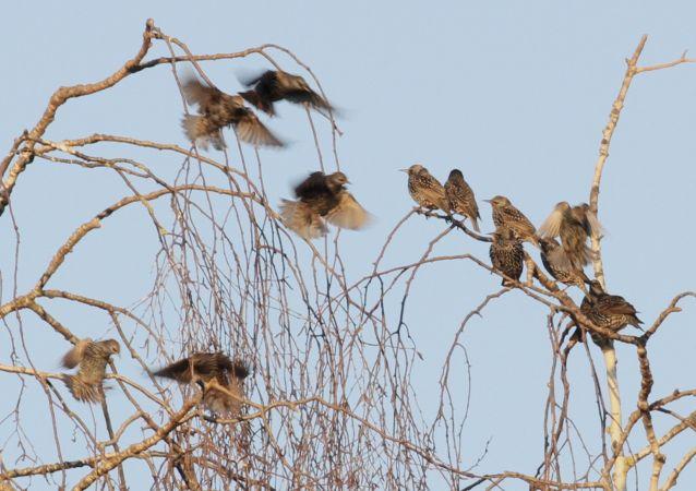 Common Starling  - Thomas Gorr