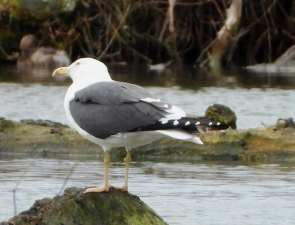 Lesser Black-backed Gull  - Fritz Liechti