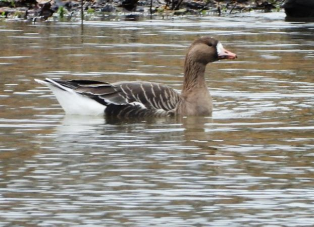 Greater White-fronted Goose  - Fritz Liechti