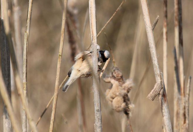 Eurasian Penduline-tit  - Tenzing Halbeisen