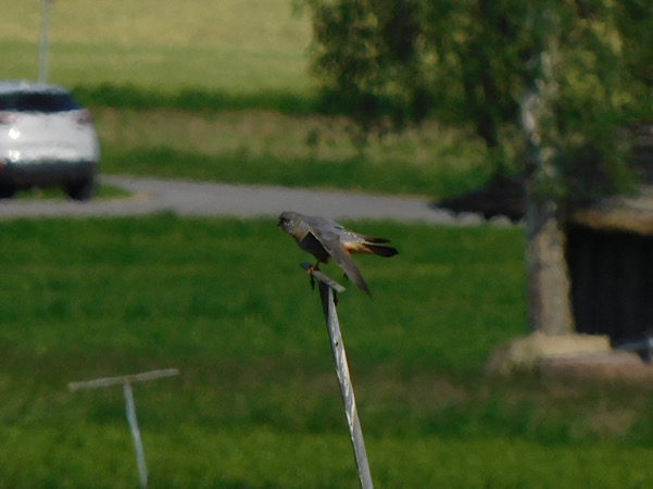 Red-footed Falcon  - Vreni Held