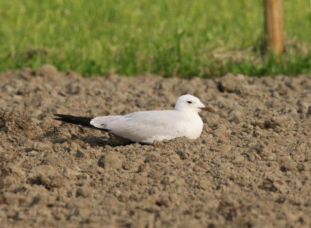Audouin's Gull  - Nadir Signori