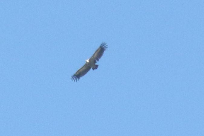 Griffon Vulture  - Sven Leutwyler