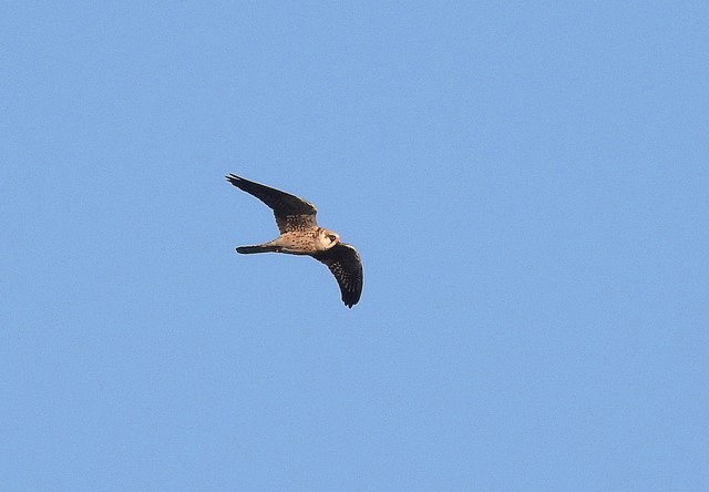 Red-footed Falcon  - Jean-Claude Muriset