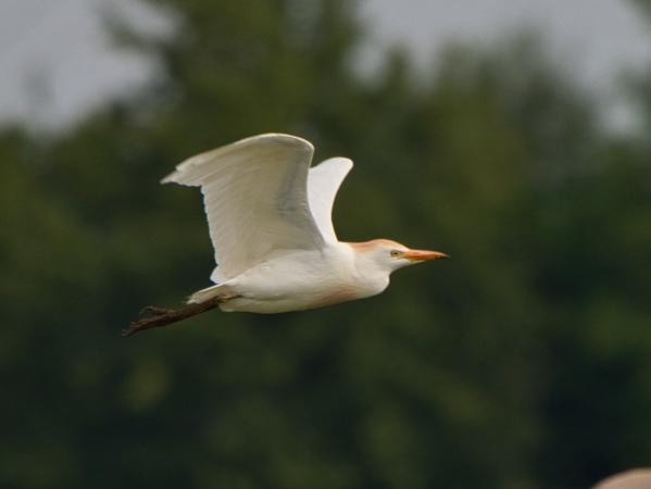 Cattle Egret  - Anton Strebel