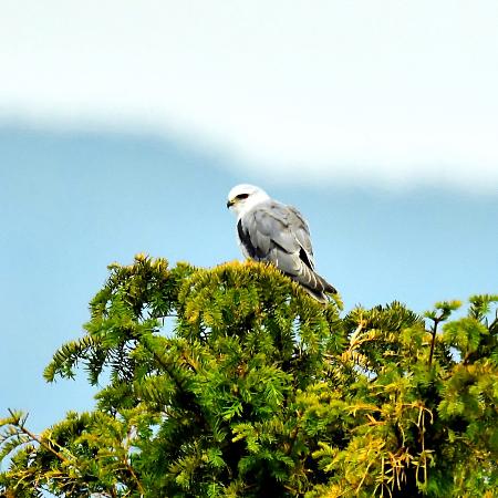 Black-winged Kite  - Elias Biegger