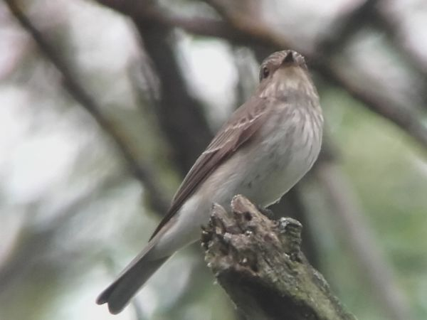 Spotted Flycatcher  - Paolo Mares