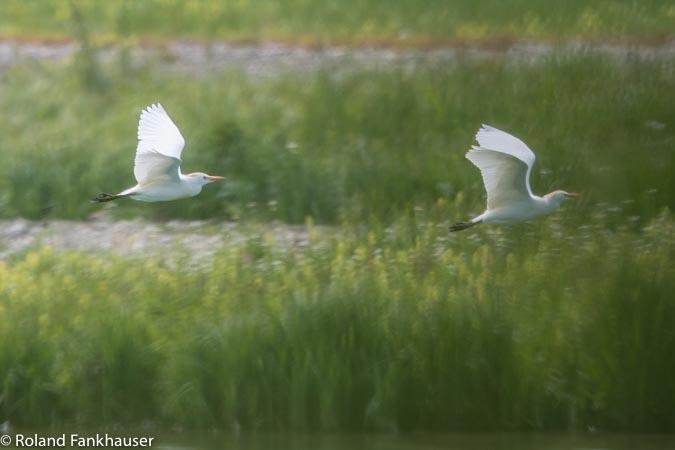 Cattle Egret  - Roland Fankhauser