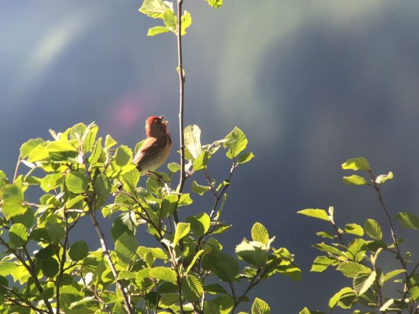 Common Rosefinch  - Barbara Li Sanli