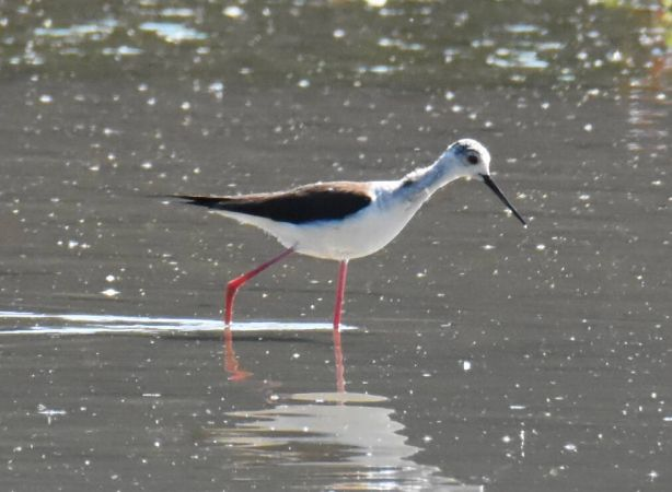 Black-winged Stilt  - Terence Rebetez