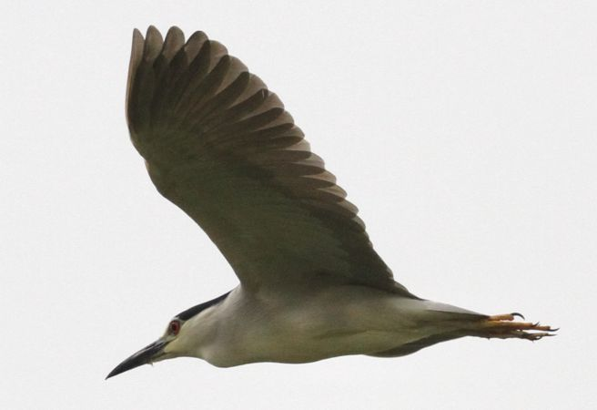 Black-crowned Night-heron  - Thomas Gorr