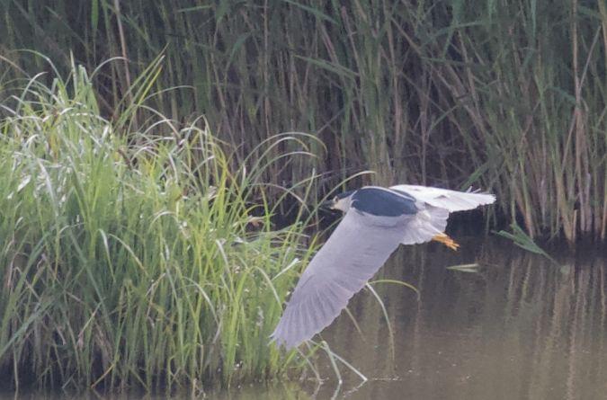 Black-crowned Night-heron  - Thomas Gorr