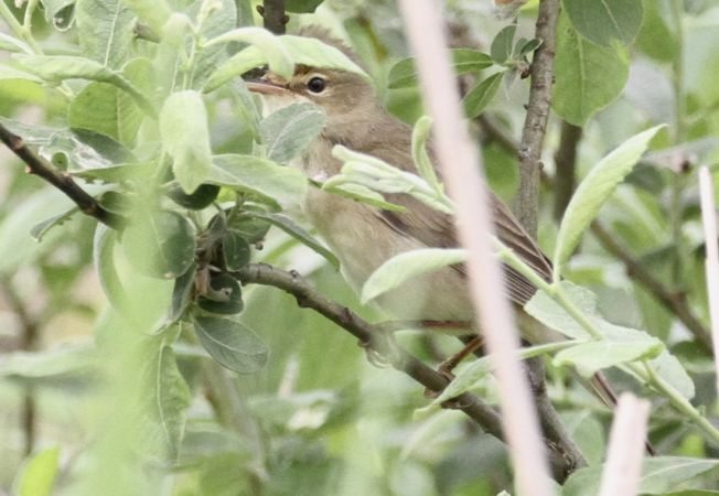 Common Reed-warbler  - Thomas Gorr