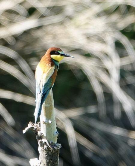 European Bee-eater  - Daniel Winzeler