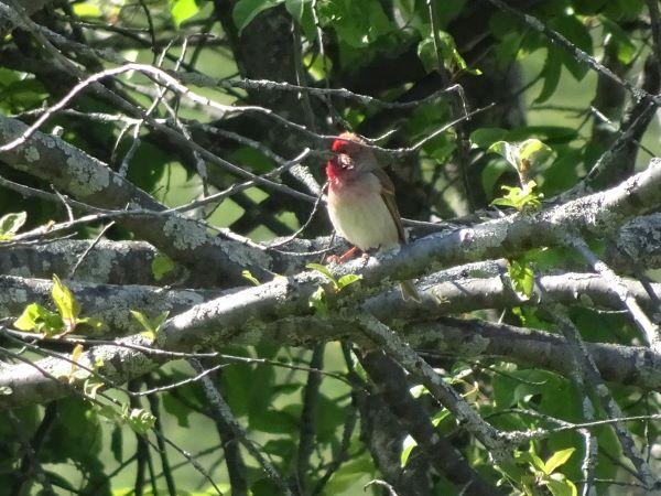 Common Rosefinch  - Nore Merenda