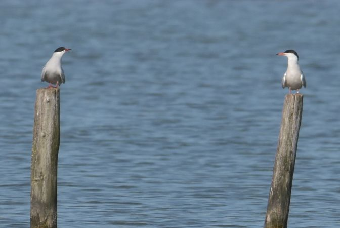 Arctic Tern  - Yannick Pochon