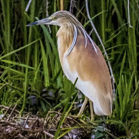 Squacco Heron  - Andreas Haag