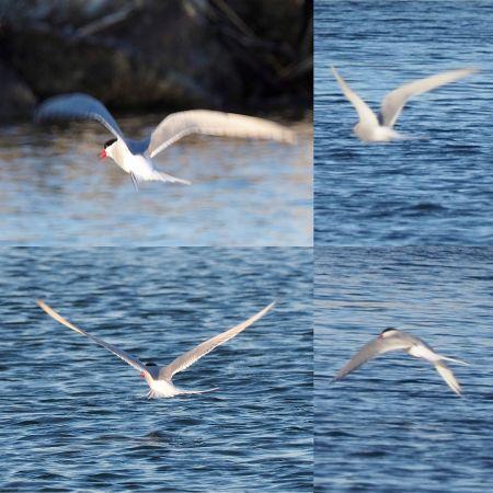 Arctic Tern  - Daniel Gebauer