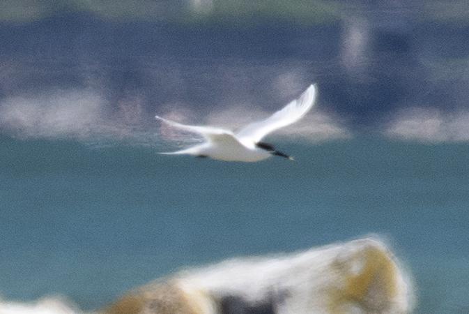 Sandwich Tern  - Diego Salvadore