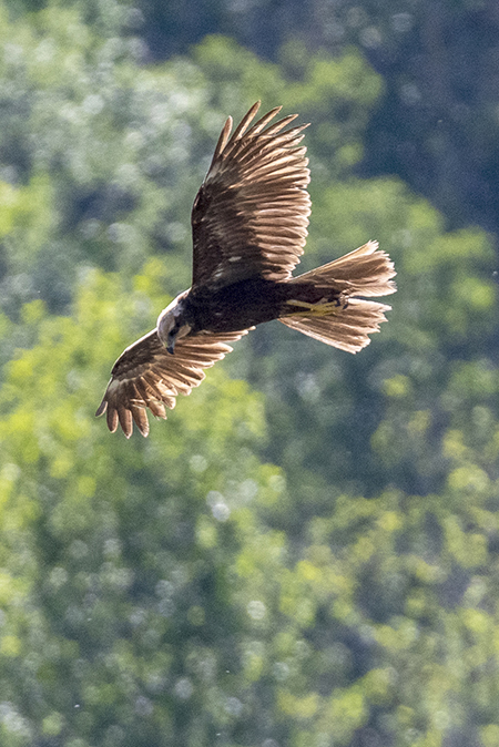 Western Marsh-harrier  - Diego Salvadore