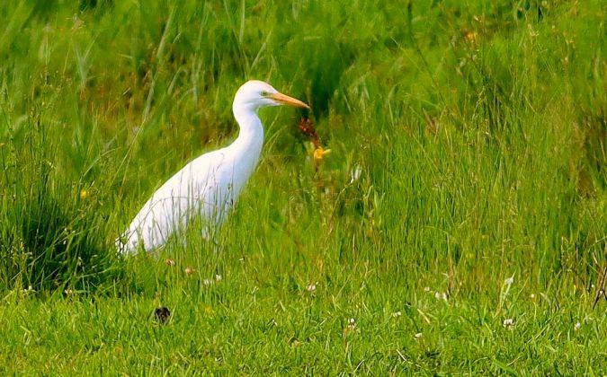 Cattle Egret  - Willy Daeppen