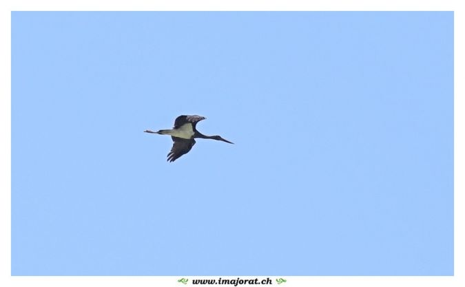 Black Stork  - Gérald Porchet