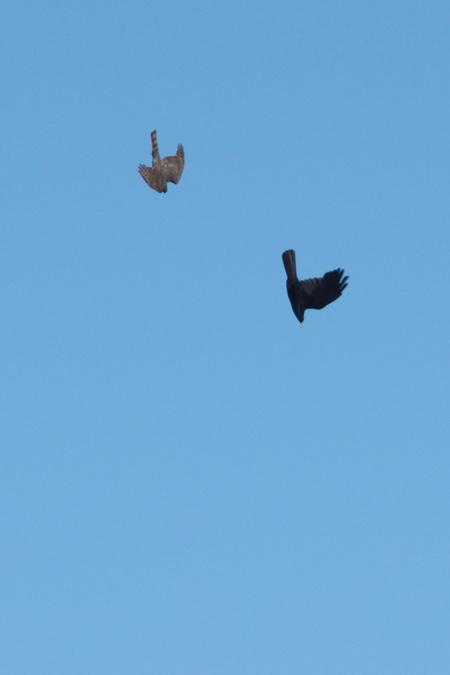 Eurasian Sparrowhawk  - Laurent Francey