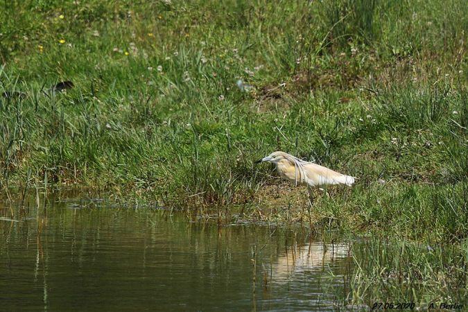Squacco Heron  - Berlie Arlette