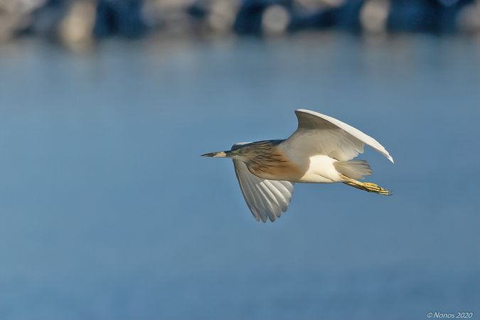 Squacco Heron  - Philippe Noverraz